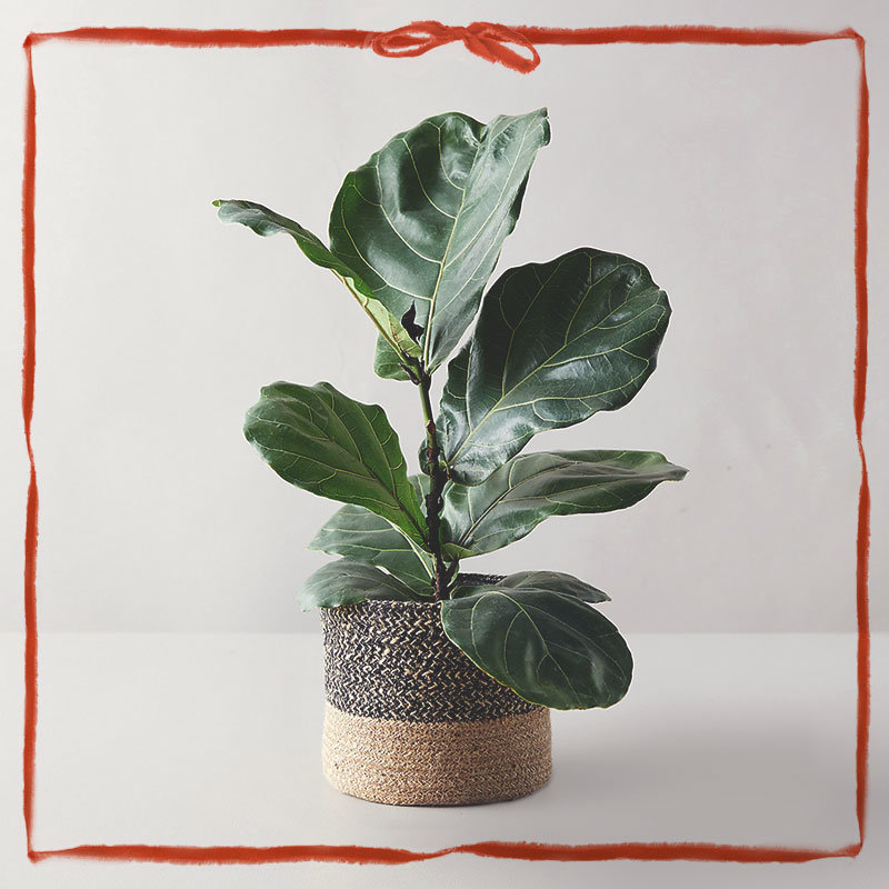 Fiddle Leaf Fig Trees + more houseplants to gift in time for Christmas