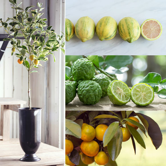 Potted Citrus Roundup